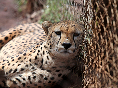Cheetahs make an Indian visit after the Govt  clears a Rs