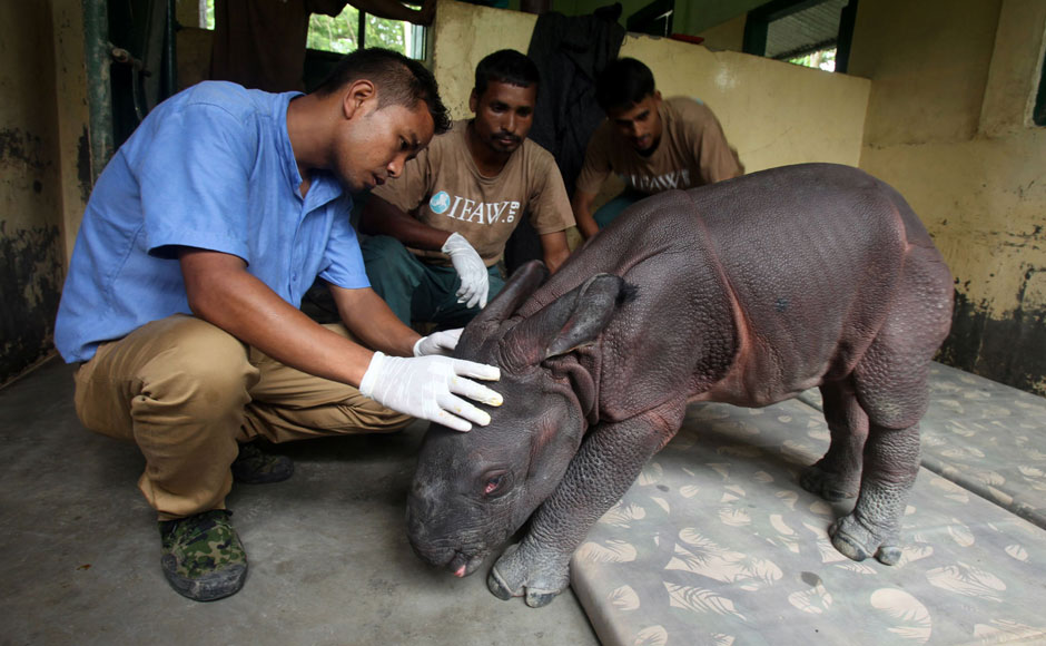 This photo taken on July 6, 2015 shows a three-day-old male Indian one-horned rhinoceros calf who was found alone wandering in Kaziranga National Park being examined by staff at a rehabilitation facility at the park in northeastern Assam state. AFP/Luit Chaliha