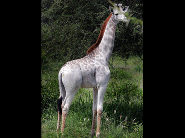 This white giraffe was named 'Omo', after a local detergent. Image courtesy: I-Love-Africa/Facebook