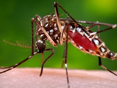A female Aedes aegypti mosquito.  File image from Centers for Disease Control and Prevention via AP
