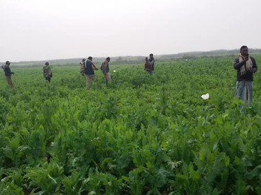 The poppy field epidemic is spreading from Bengal to Jharkhand. Image courtesy: Nav Kumar Mishra