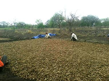 Turmeric spread across Rudraksha's farm during the harvest season. Image courtesy: Vidya Rudraksha