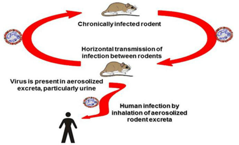 Illustration of the typical cycle of transmission of hantaviruses. Image courtesy: Public Health Agency of Canada