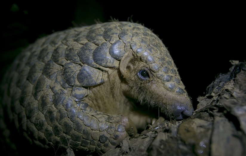 In this photo taken on September 20th, 2016, a Chinese pangolin rests on a tree branch at the Save Vietnam's Wildlife rescue center in Cuc Phuong National Park, Ninh Binh province, Vietnam. On Wednesday in Johannesburg, South Africa, delegates at a U.N. wildlife conference have voted to ban trade in all four species of Asian pangolins. The small, ant-eating mammal is heavily poached for its meat and scales that are used in traditional medicine in parts of Asia. (AP Photo/Hau Dinh)