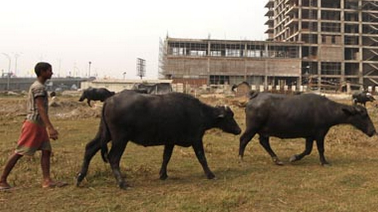 cattle slaughter ban buffaloes likely to be removed from list