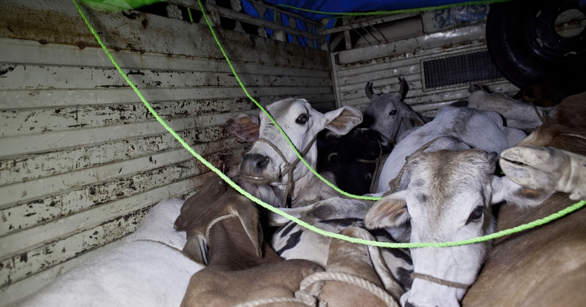 Jammu and Kashmir police arrest three for smuggling 116 bovines in Rajouri district