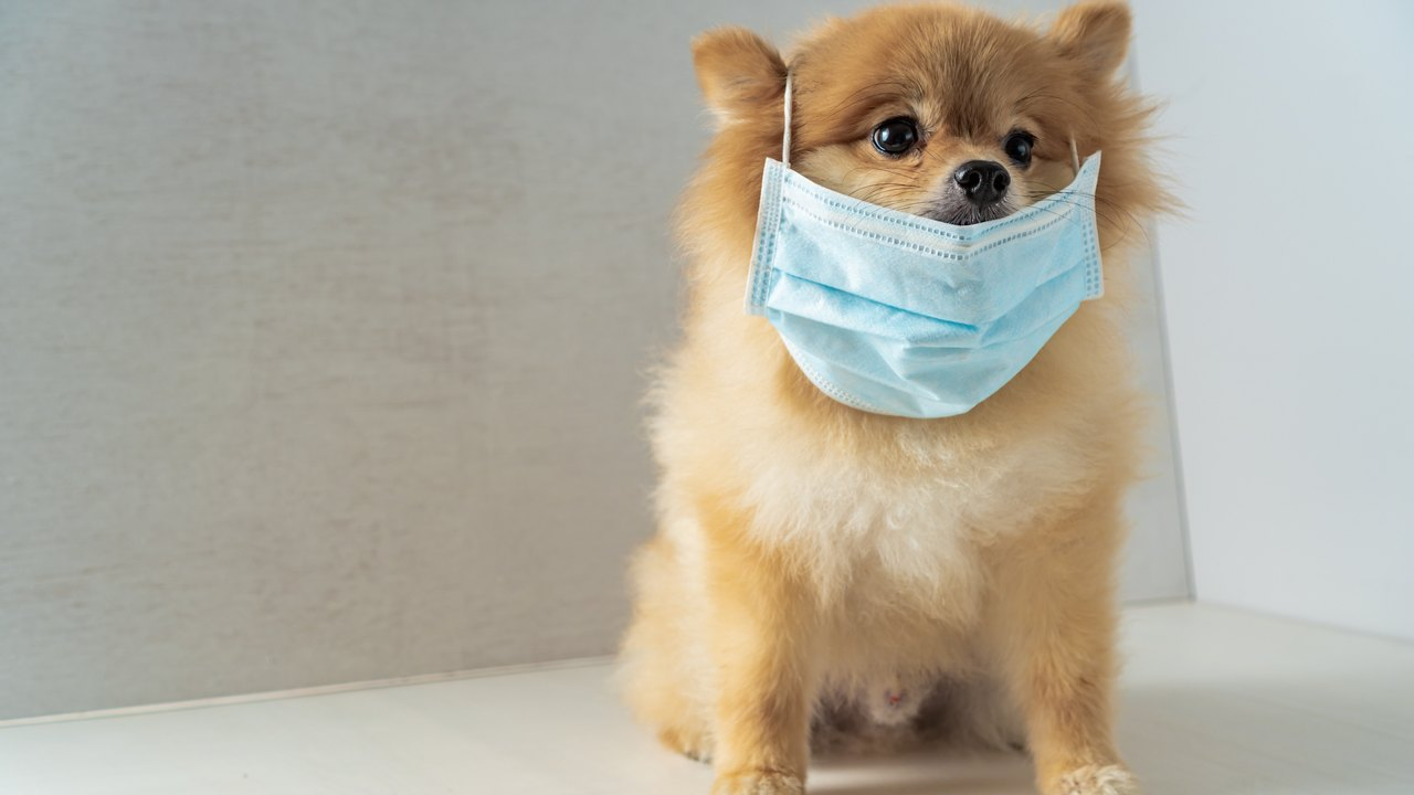 Scientists in Hong Kong found traces of coronavirus in a pomeranian dog. Image credit: aonip/Shutterstock