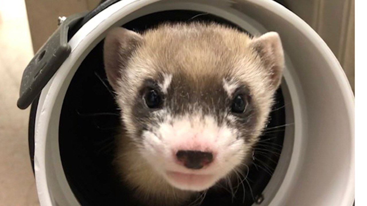 In this photo provided by the U.S. Fish and Wildlife Service is Elizabeth Ann, the first cloned black-footed ferret and first-ever cloned U.S. endangered species, at 50-days old on Jan. 29, 2021. Scientists have cloned the first U.S. endangered species, a black-footed ferret duplicated from the genes of an animal that died over 30 years ago. Image credit: U.S. Fish and Wildlife Service via AP
